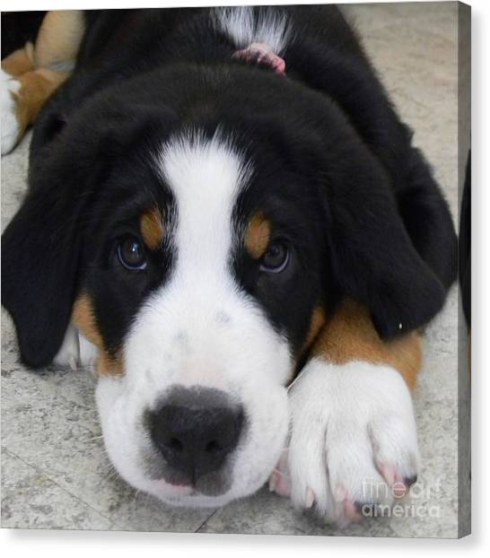 Greater Swiss Mountain Dog Canvas Print