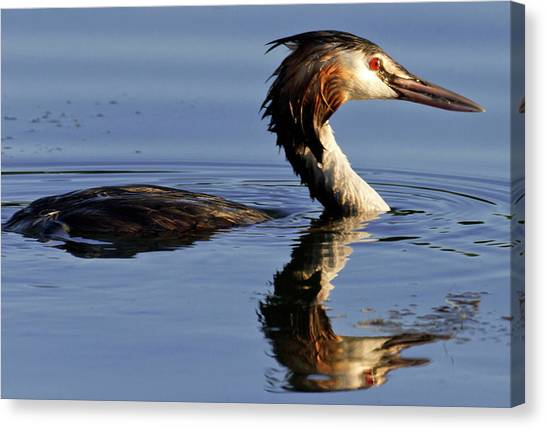 Grebe At Sunset Canvas Print