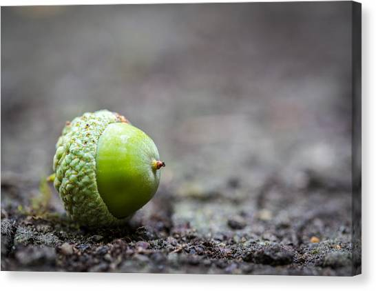 Canvas Print featuring the photograph Green Acorn. by Gary Gillette