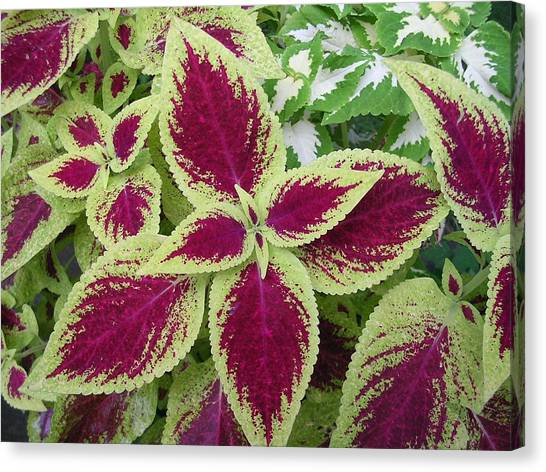 Green And Purple Coleus Canvas Print by Dusty Reed