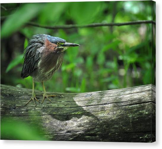 Green Backed Heron At The Swamp Canvas Print