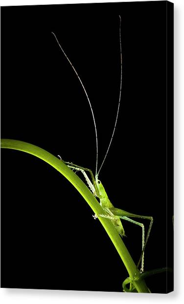 Green Bush Cricket Canvas Print by Alex Hyde