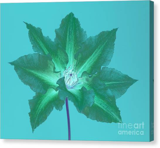 Green Clematis On Turquoise Canvas Print by Rosemary Calvert