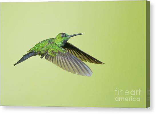 Green-crowned Brilliant Hummingbird Canvas Print