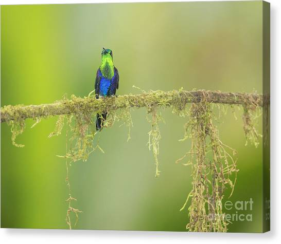 Green-crowned Woodnymph Hummingbird Canvas Print