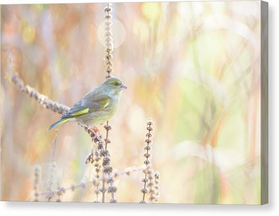 Finches Canvas Print - Green Finch by Erik Willaert
