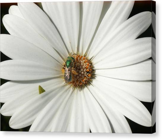 Green Fly On White Flower Canvas Print