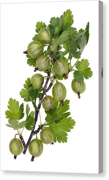 Green Forest Berries Canvas Print by Aleksandr Volkov