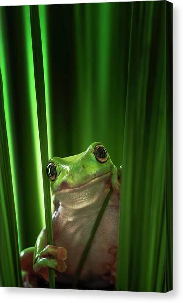Amphibians Canvas Print - Green Frog by Ahmad Gafuri