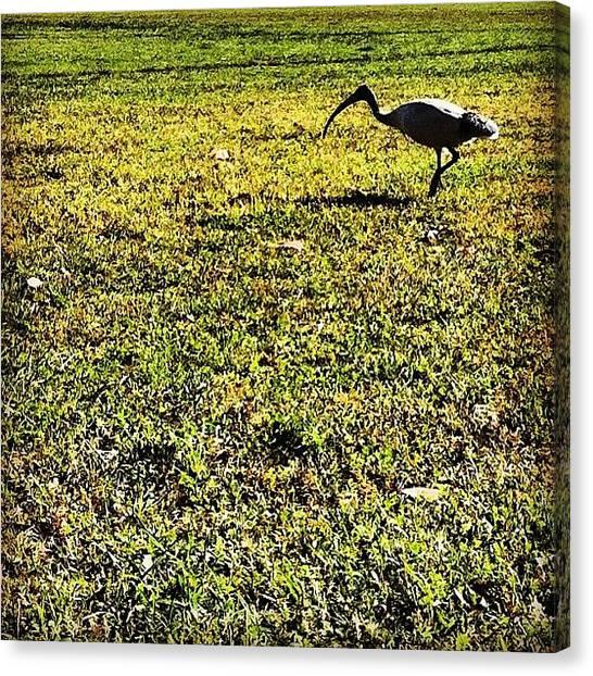Ibis Canvas Print - #green #grass #bird #ibis by Talitha Aho