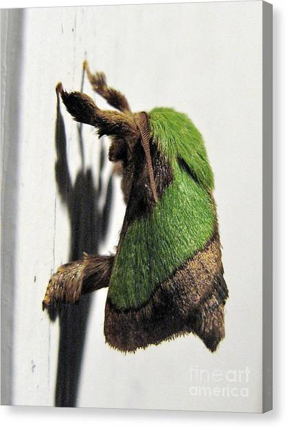 Green Hair Moth Canvas Print