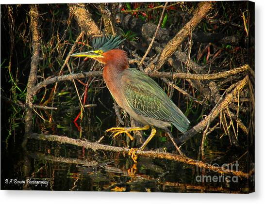 Green Heron Basking In Sunlight Canvas Print