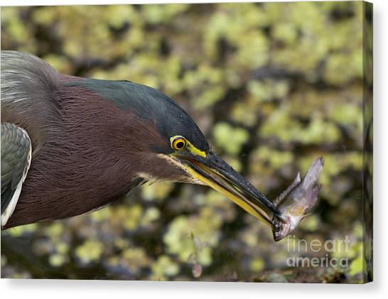 Green Heron Fishing Canvas Print