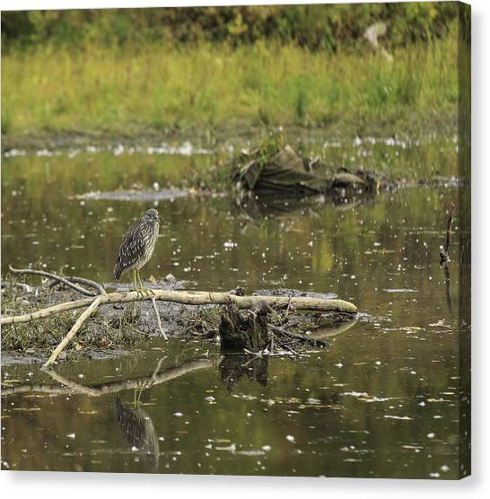 Juvenile Black Crowned Night Heron In A Marsh Canvas Print