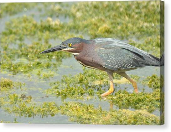 Green Heron On The Hunt Canvas Print