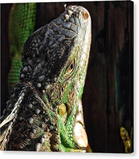 Wildlife Canvas Print - Green Iguana - Fl ( Rescuing A Green by Joel Lopez