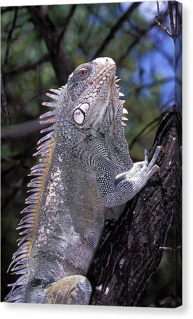Iguanas Canvas Print - Green Iguana by Clay Coleman/science Photo Library