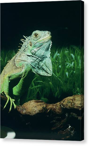 Iguanas Canvas Print - Green Iguana by Sally Mccrae Kuyper/science Photo Library