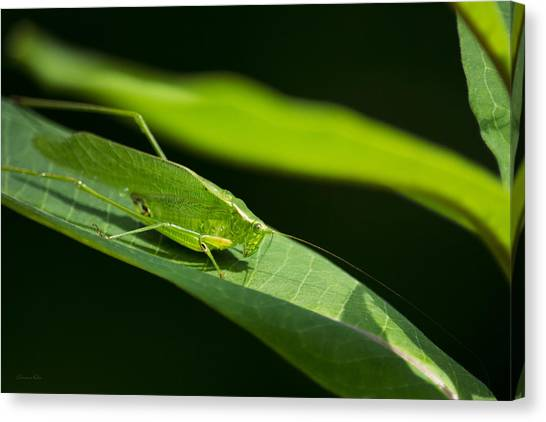 Green Camo Canvas Print - Green Katydid by Christina Rollo