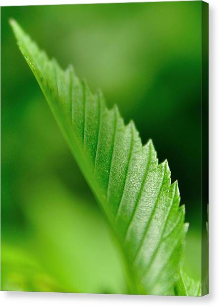 Green Leaf 002 Canvas Print