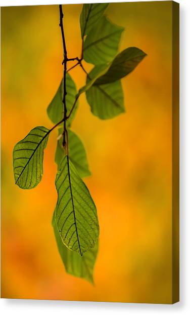 Green Leaves In Autumn Canvas Print
