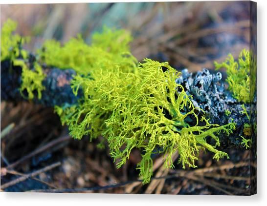 Green Lichen Canvas Print