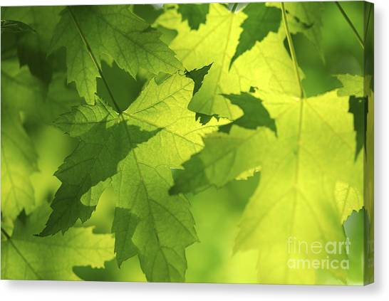 Botany Canvas Print - Green Maple Leaves by Elena Elisseeva
