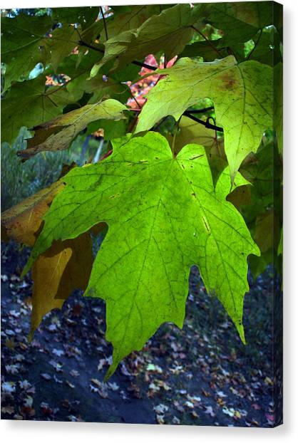Green Maple Leaves Canvas Print by Michel Mata