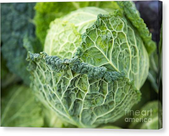 Cabbage Canvas Print - Green Ruffled Cabbage by Rebecca Cozart