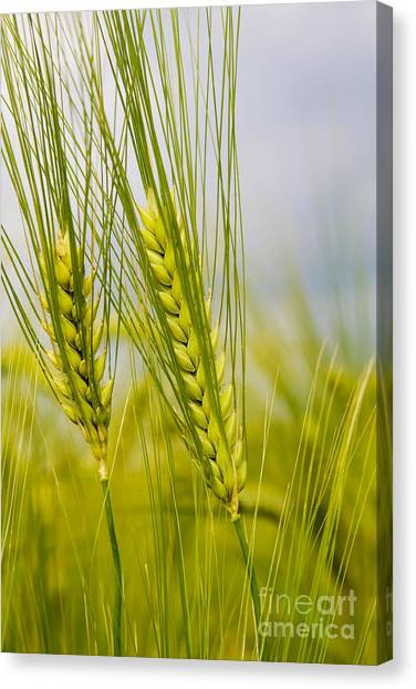 Green Rye Beautiful Canvas Print by Boon Mee