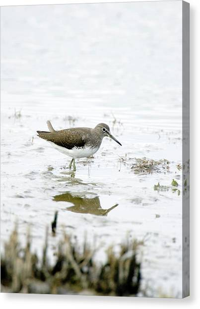 Sandpipers Canvas Print - Green Sandpiper by John Devries/science Photo Library