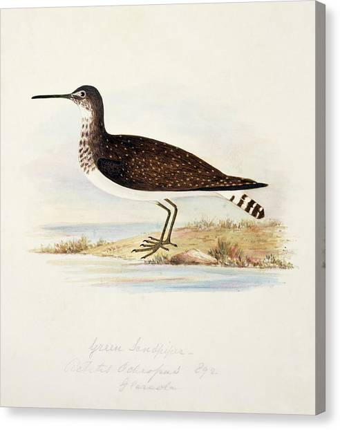 Sandpipers Canvas Print - Green Sandpiper by Natural History Museum, London/science Photo Library