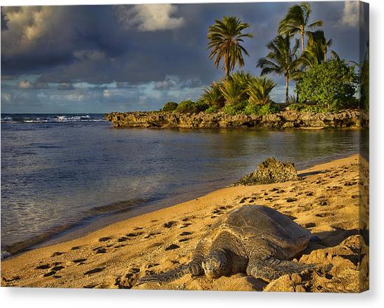 Green Sea Turtle At Sunset Canvas Print