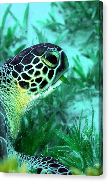 Seagrass Canvas Print - Green Sea Turtle Feeding by Louise Murray