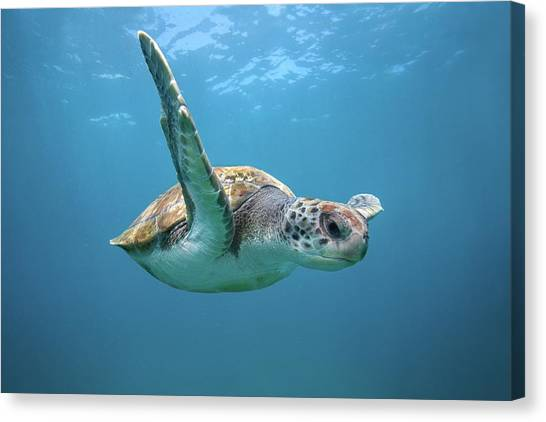 Green Sea Turtle In Canary Islands Canvas Print by James R.d. Scott