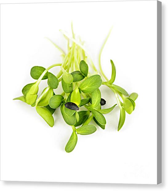 Sunflower Seeds Canvas Print - Green Sunflower Sprouts by Elena Elisseeva