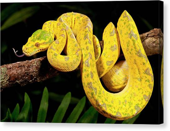 Pythons Canvas Print - Green Tree Python, Morelia by David Northcott