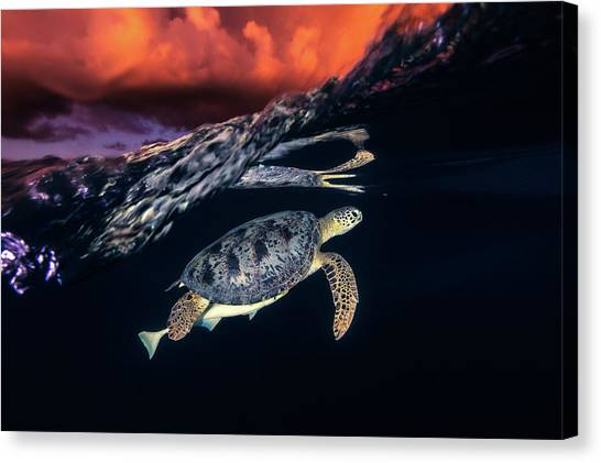 Green Turtle And Sunset - Sea Turtle Canvas Print by Barathieu Gabriel