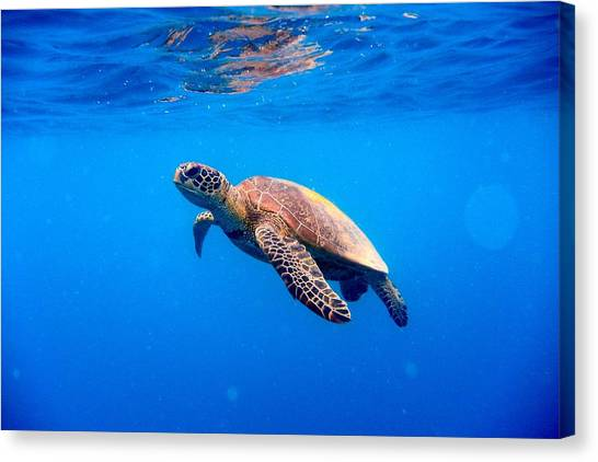 Green Turtle Approaching Water Surface Canvas Print by Searsie