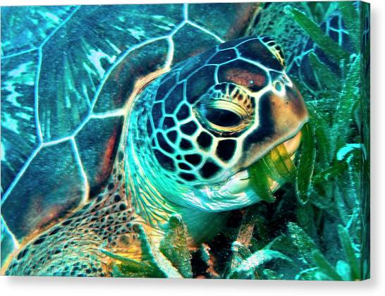 Seagrass Canvas Print - Green Turtle Feeding by Louise Murray/science Photo Library