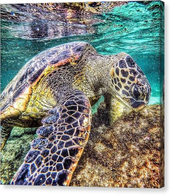Sea Turtles Canvas Print - Hawaiian Green Turtle  by Hal Bowles