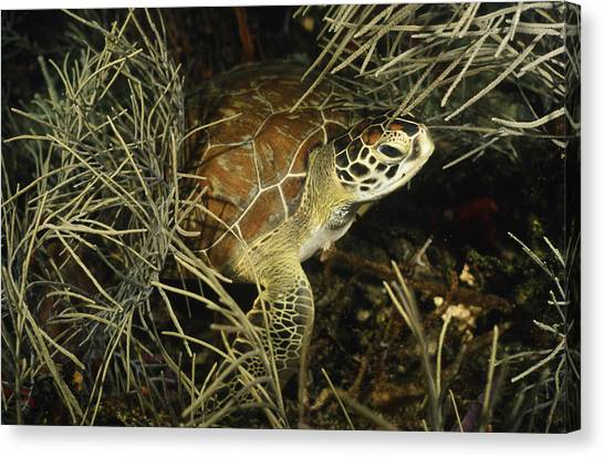 Green Turtle In Soft Corals Canvas Print