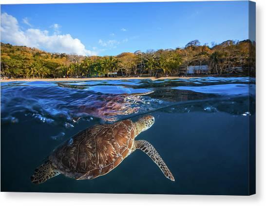 Green Turtle - Sea Turtle Canvas Print by Barathieu Gabriel