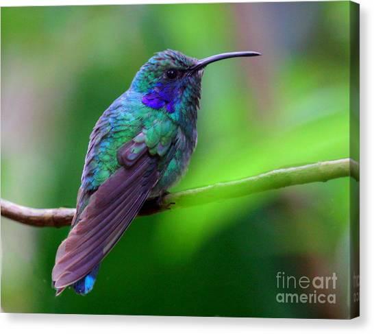Green Violet Ear Hummingbird Canvas Print
