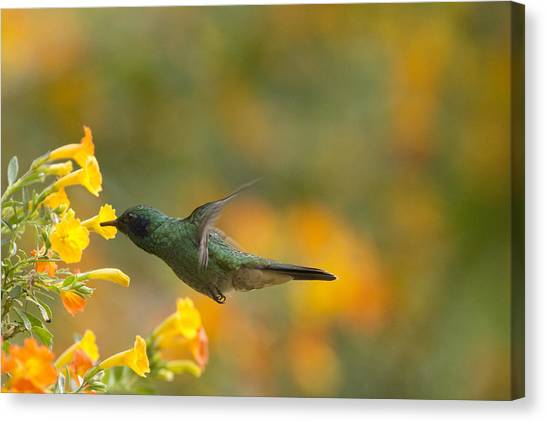 Green Violet-ear Hummingbird Canvas Print