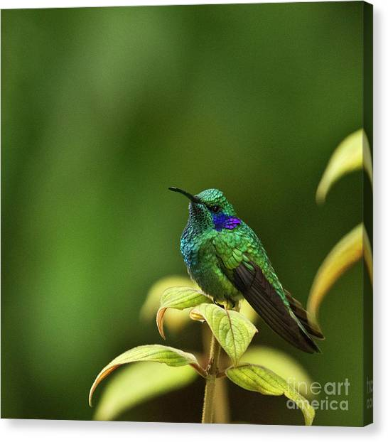 Green Violetear Hummingbird Canvas Print