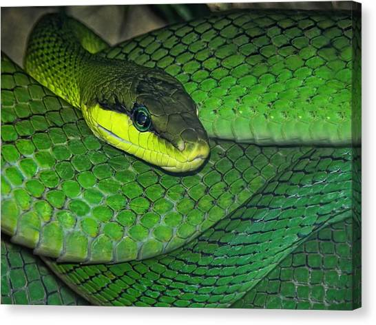 Poisonous Snakes Canvas Print - Green Viper by Joachim G Pinkawa
