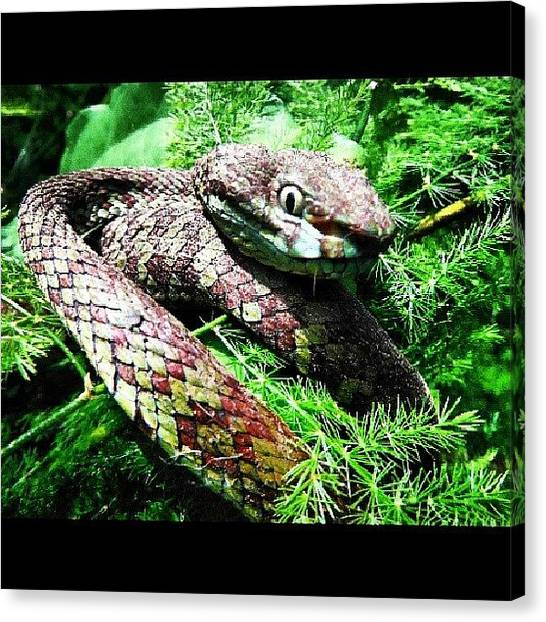 Vipers Canvas Print - #green #viper #snake #nature by Surachan Pramong