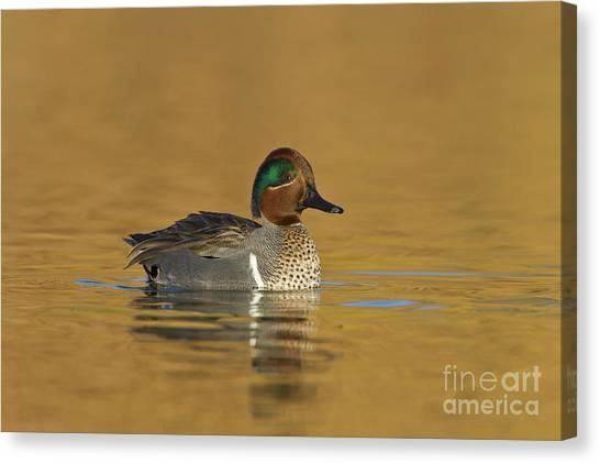 Green Wing Teal Canvas Print