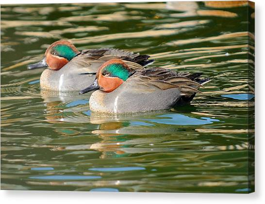 James Lewis Canvas Print - Green-wing Teal  by James Lewis